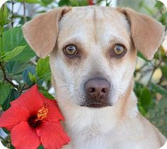 Englewood, FL - Chihuahua/Dachshund Mix. Meet Andy, a dog for adoption. http://www.adoptapet.com/pet/17644850-englewood-florida-chihuahua-mix