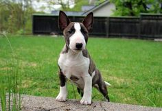 14 Wonderful Facts To Know About Bull Terriers Bull Terrier Bebe, Perros Bull Terrier, Bull Terrier Funny, Mini Bull Terriers, Terrier Mix Dogs, English Bull Terriers, Pitbull Terrier, Baby Dogs, Pet Dogs