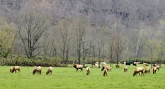 Arkansas wild elk | Buffalo River, AR (pinned by haw-creek.com)