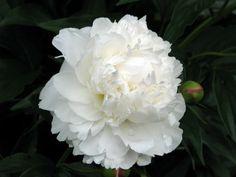 Peonie..my favorite flower