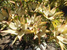 Leucadendron in flower Cape, Flora, Succulents, African, Plants, Mantle, Cabo, Succulent Plants, Plant