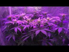 Pro-Grow 260X LED grow light - California Hash Plant   ow.ly/u5UFa