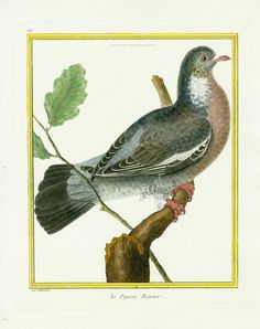 Martinet c1770's: Pigeon Ramier. Woodpigeon