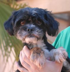 Yvonne worries about quick movements and fears people might want to hurt her.  Once she trusts you, she stays close and hides behind your legs to feel safe.  Please help find her a gentle home where she comes to realize she will never be harmed again.  Yvonne is a Shih-Tzu, 4 years of age and spayed, good with other dogs, debuting for adoption today at Nevada SPCA (www.nevadaspca.org).
