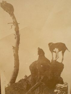 RPPC - Early 1900's - coon hounds