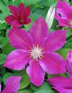 Clematis 'Corona' • Plants & Flowers • 99Roots.com