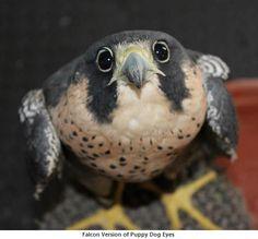 puppy falcon eyes