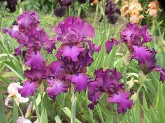 Irys bródkowy / Iris barbata 'Weekend Update'