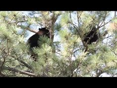 Two young bears wrestling and playing 50 feet up in a tree in the Rockrimmon neighborhood of Colorado Springs
