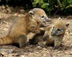 I love their noses! Coatis are like pig-badgers!