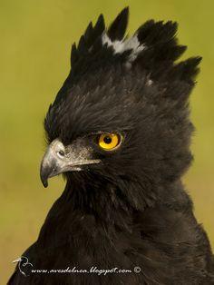 Águila crestuda negra (Black-Hawk Eagle) Spizaetus tyrannus - Marcelo Allende