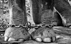 URGENT: Sick, Abused Elephant Set to Perform in UniverSoul Circus. Please sign the petition to protect the well-being of this innocent animal!