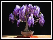 Jacaranda mimosifolia - 60 Bonsai seeds - Tree