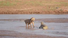huffingtonpost-lions-vs-crocodile-in-violent
