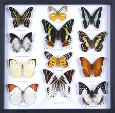 Taxidermy Mounted Butterfly Collections @ www.BugsDirect.com