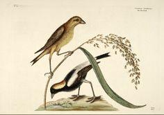 Oryza sativa L. Rice Catesby Volume I plate 14