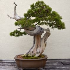 MANY BONSAI TREE FOR BEGINNERS - Best Bonsai and Plants