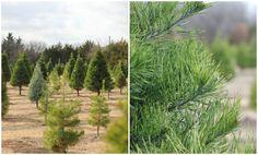 indigo 26: Wintergreen Christmas Tree Farm