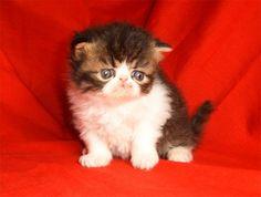Persian Kitten!!!
