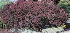 bayberry bush, deer hate them and they are so spikey they are tough to prune
