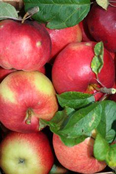 Apples from the own garden lightens up the dark autumn at Strandhagen B&B, Porvoo, Finland.