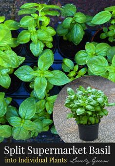 How to divide grocery store Basil into individual plants. Contrary to what some say, this is not difficult and the plants you end up with are strong, healthy and best of all, save you money #herbs