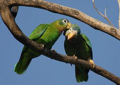 Pair of Yellow Billed Parrots