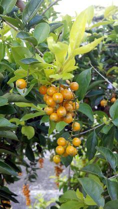 in Belo Horizonte, Minas Gerais - Gabiroba... uma frutinha deliciosa que da no mato....