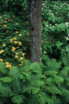 Matteuccia struthiopteris (ostrich fern) I really, really, really want these for my garden!!'