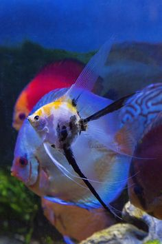 Koi Veil Angelfish and Discus, Photography by Darrell Gulin Salt And Water, Fresh Water, Discus Fish, Freshwater Aquarium Fish, Angelfish, Sea And Ocean, Tropical Fish, Under The Sea, Patience