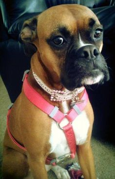 Boxer Dog Photo Gallery- My Chloe Girl
