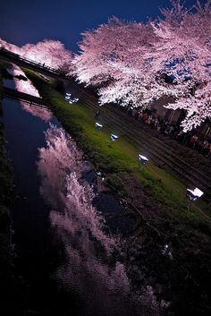 ✭ Light up the cherry blossoms - Japan