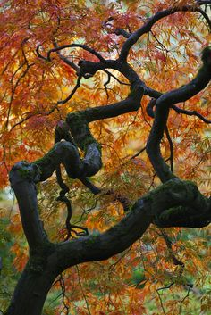 Orange autumn leaves on a Japanese Maple (Acer palmatum) in Japanese Garden, Seattle, Washington State, USA, Beautiful World, Beautiful Gardens, Seattle Japanese Garden, Unique Trees, Japanese Maple, Nature Tree, Tree Forest, Autumn Garden, Belleza Natural