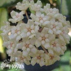 Hoya parasitica variegated Plant [SRQ 3059] - $20.00 : Hoya Plants and Cuttings
