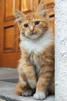 Ginger and White Longhair