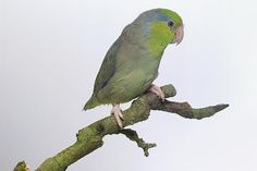 Learn More About the Tiny Pacific Parrotlet