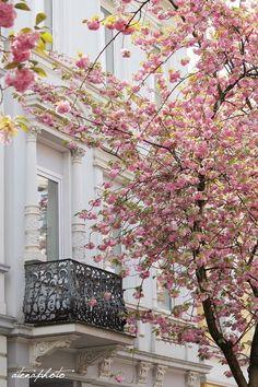 Drewniana Szpulka: Cherry Blossom Avenue in Bonn