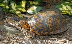 Eastern Box Turtle (Terrapene carolina carolina)*