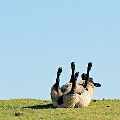 lustiges Schaf auf dem Deich