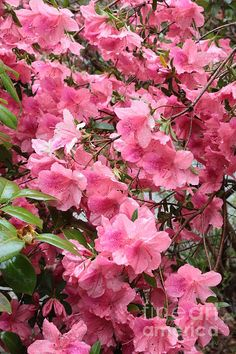 """Southern Pink"" Copyright:  Carol Groenen #azaleas #artprints #southernazaleas #pinkazaleas"
