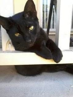 National Black Cat Day, Black Cat Appreciation Day, Panther, Creatures, Holidays, Cats, Mini, Animals, Gatos