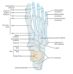 Bones of the ankle and foot