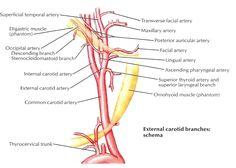 branches of ica by atlas anatomy - Google Search