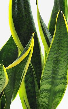 Want to be more productive, buy desk plants Wharton Business School, Ficus Elastica, Train Your Brain, College Survival, Office Plants, Business Innovation, Snake Plant, Mindful Living, Talking To You