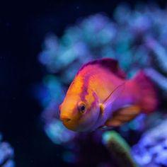 Hawaiian #flamewrasse #corals #reeftank #reefaquarium #eatsleepreef #reef…