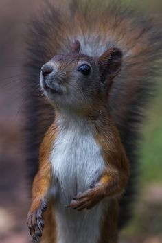 Squirrels are very active and can indicate an advantage in learning by DOing rater than studying. Every squirrel is unique, and its medicine will be activated differently for everyone. If squirrel has scampered into your life, examine your activity levels and preparedness.