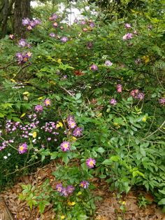 Purple antique rose Zone 8B April