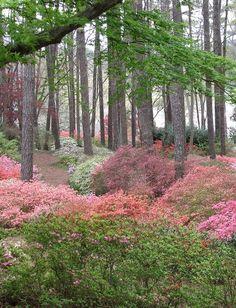 Azalea Trail - Callaway Gardens by rbglasson