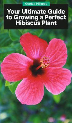 32 Best Hibiscus Plant Images Hibiscus Hibiscus Plant Hibiscus
