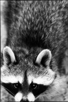 cute racoon. WHY ARE ALL THE MOST ADORABLE ANIMALS SO FEROCIOUS??? For instance: raccoons, red pandas and koalas!
